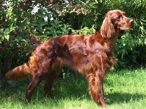 irish setter definition animals dogs irish setter irish setter red setter