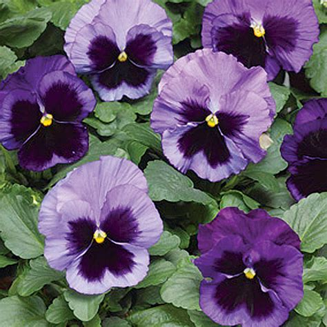 colossus ocean mix pansy seeds ne seed