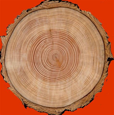 cross section tree welcome to the science of tree rings
