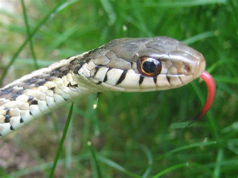 Garter Snake Get Rid Of Snake Removal How To Get Rid Of Snakes Snake Trap