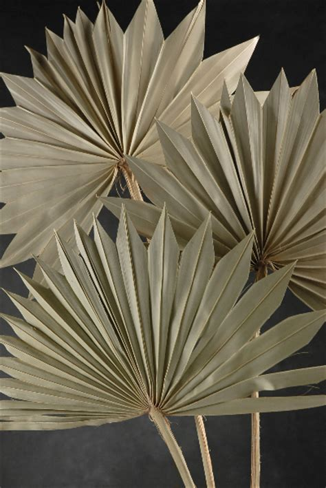 palm leaf fans dried  pack