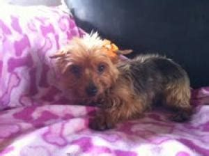 yorkie denver 21 best images about rescue these babies on getting to parks and