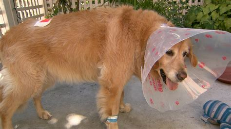 golden retriever vancouver golden retriever owner recovering after pit bull attack ctv vancouver news