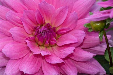 pink dahlias jpeg dahlias dahlia geothermal plant composites pink domain pictures free pictures