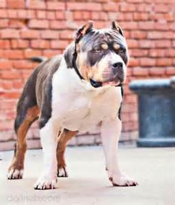 tri color american bully american bully tri color if i owned this i d call him