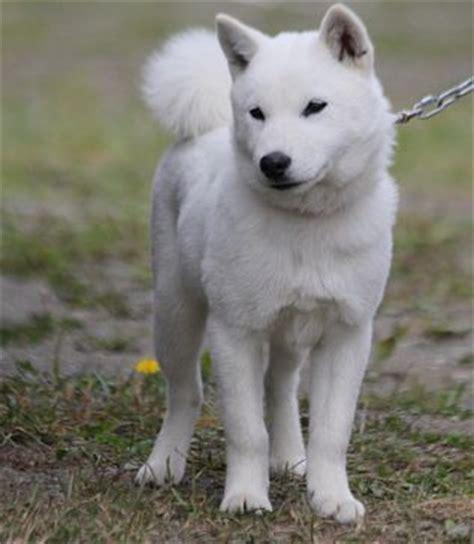Hokkaido Inu, Ainu ken, Dog | My Future Pets | Pinterest