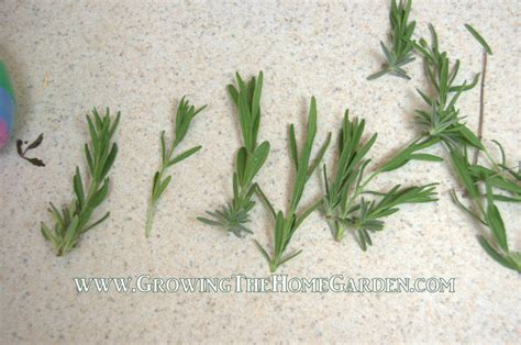 Lavendel Stecklinge by Propagating Lavender Through Cuttings Growing The Home