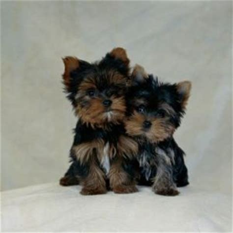 pictures yorkie poo puppies the challenge of raising yorkie poo puppies the pets central