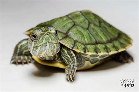 Peliharaan Anakan Kura Kura Baby Turtle family emydidae pond turtles water turtles reptiles