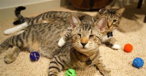 Shoo Kucing Apple Mainan Kucing salmon petshop alat bermain kucing