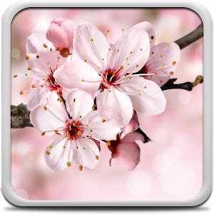 Amio Id Gamis Pink Blossom cherry blossom live wallapper android apps on play