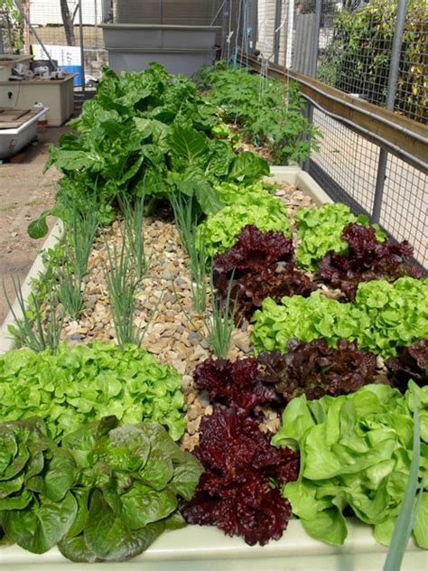 aquaponic vegetable garden aquaponics is the next generation name for home garden