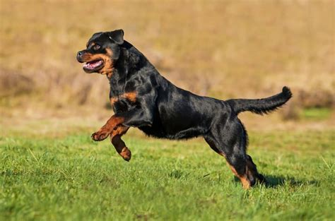rottweiler in 55 fantastic rottweiler and puppies golfian