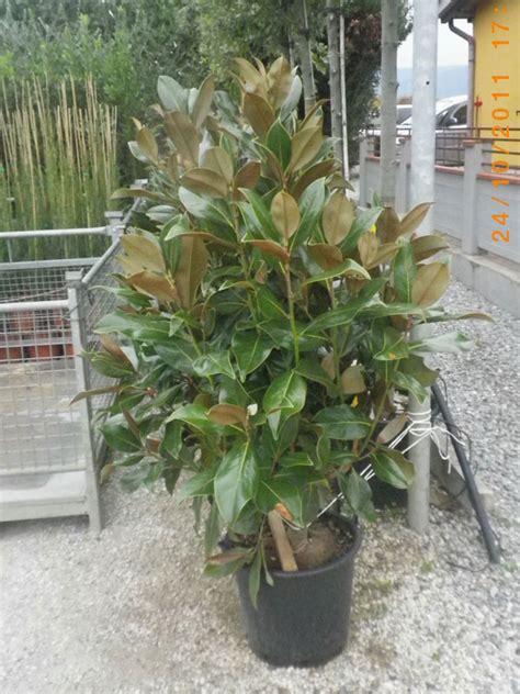 magnolia in vaso magnolia grandiflora gallissoniensis