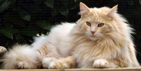 gatti persiani costo quot i gatti pi 249 belli mondo quot esposizione internazionale