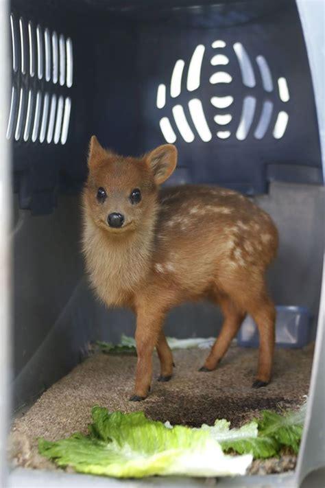 World's smallest deer, the pudú.   Rebrn.com