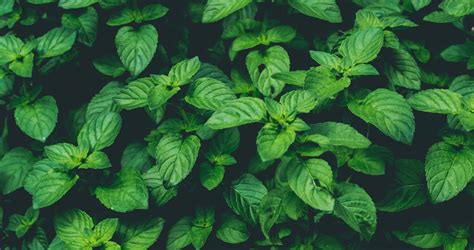 10 Healthy Ways To Use Fresh Mint | Elizabeth Rider Mint Leaves Wallpaper