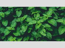 10 Healthy Ways To Use Fresh Mint | Elizabeth Rider Mint Leaves Wallpaper