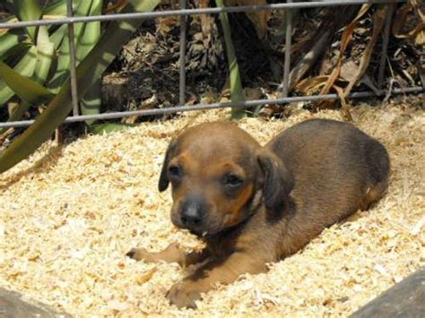 koolie puppies for sale top 263 ideas about australian koolie on horses for sale pets for