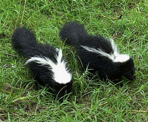 Getting Rid Of Skunks Shed by How To Get Rid Of Skunks Skunk Removal Allstate Animal