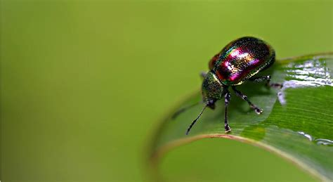 ecol lett ecol lett 雌性宽角粉甲虫能影响后代性别 生物研究 生物谷
