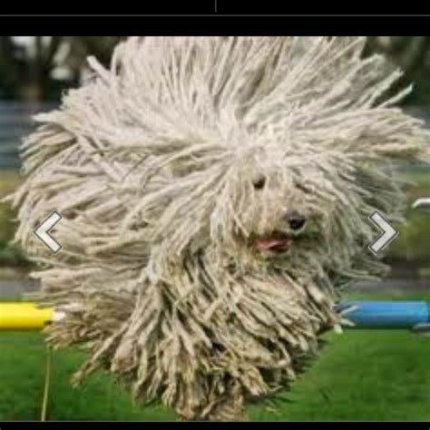 dogs with dreads with dreadlocks breeds picture