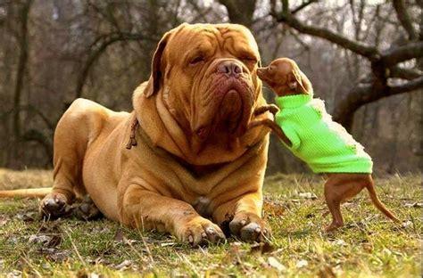 mujer con un perro mas grande estas son las 7 razas de perros m 225 s grandes del mundo