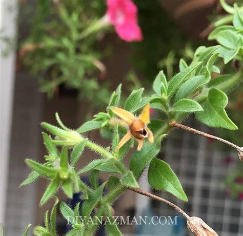 Benih Biji Bunga Petunia Phantom cara tanam bunga petunia dari biji benih diyanazman