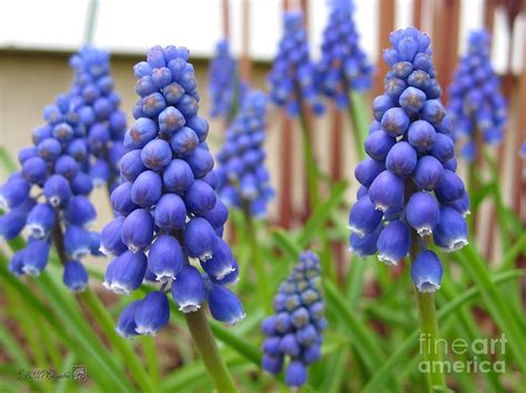 muscari or grape hyacinth photograph by j mccombie