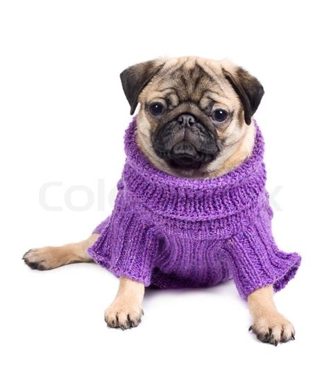 clothes with pugs on pug in clothes stock photo colourbox