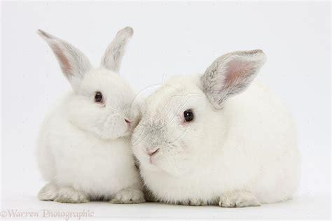 12 Md Rabbit Bery White white rabbit going to hanoi