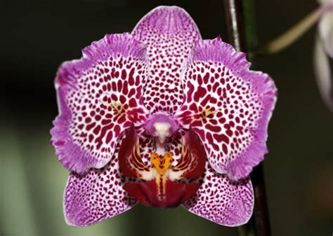 prince avnon and the with orchid books phal leopard prince gardenbanter co uk