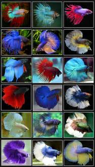 betta fish colors betta fish images betta fish hd wallpaper and background