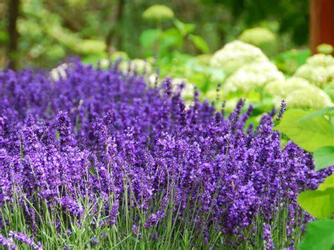 Garten Lavendel Pflanzen by Lavendel Wann Pflanzen Wie Pflegen Liebenswert