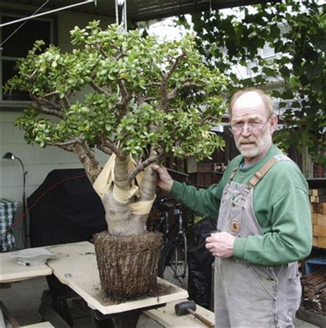 tanaman sukulen portulacaria afra jade plant readers describe their plants and seek details