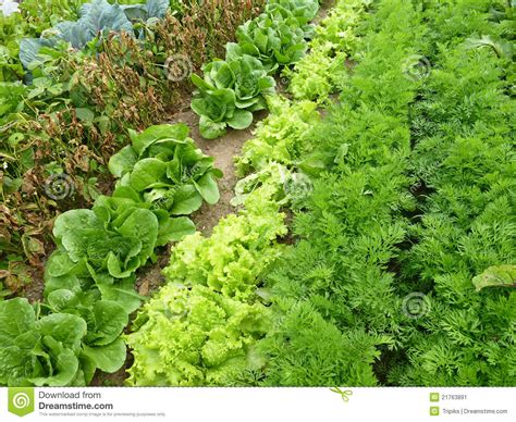 Rows In A Garden Stock Image Image Of Salad Planted Time Vegetable Garden