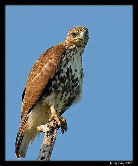 birds of prey birds of prey pinterest