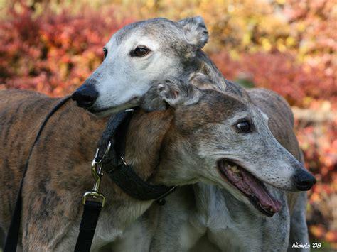 home minnesota greyhound rescue