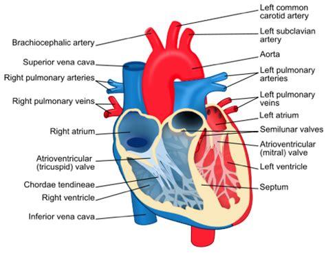 veins and arteries diagram arteries and veins diagram