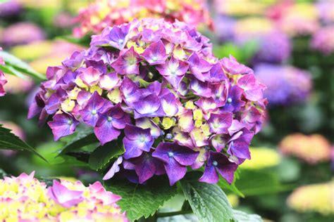 Hortensia Purple hydrangea flower meaning flower meaning