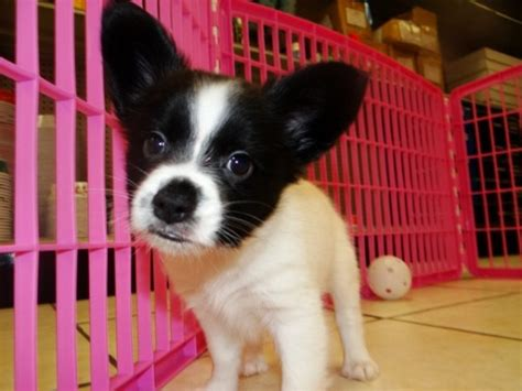 yorkie puppies for sale in macon ga friendly black white papillon puppies for sale in atlanta at atlanta