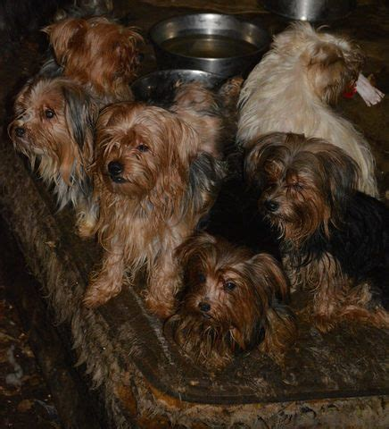 humane society yorkies more than 80 dogs rescue from unsanitary county home 10news kgtv tv san