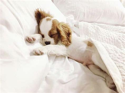 puppy sleeping in bed best 25 cavalier king charles ideas on pinterest