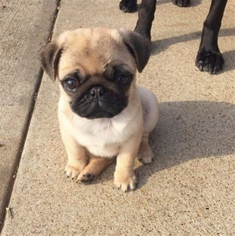 akc pugs akc pug puppiees offer