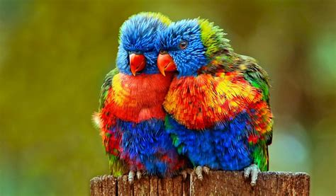 colorful wallpaper animal colorful lovebirds animal wallpaper 886 1024x600