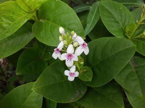 Tanaman Hias Melati Rombusamelati Cina cara menanam bunga melati jepang jenis tanaman terbaru