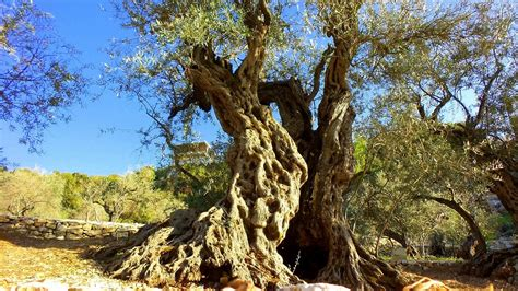 olive trees olive trees of bchaaleh are the oldest olive trees in