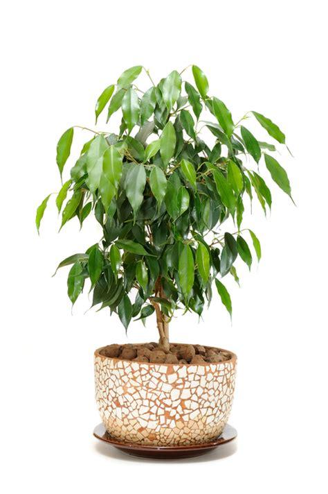 Ficus Benjamin Come Curarlo by Ficus Benjamin Perde Foglie Come Curarlo Pollicegreen