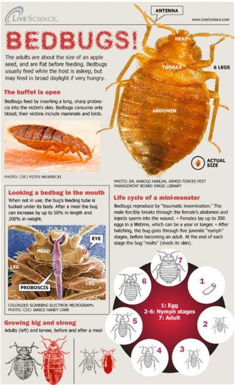 Bed Bug Facts by Pest At Home Is It Safe Easy Mousetrap Car Find