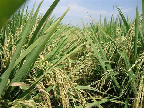 Pupuk Npk Mutiara Untuk Padi arif rahman produk padi semi organik ppk organik granul